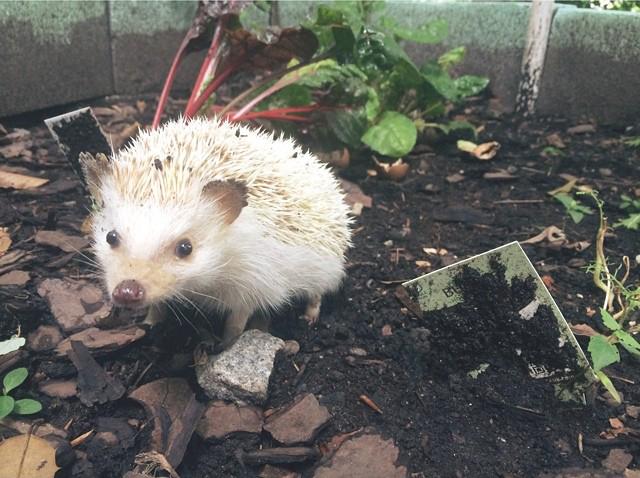 sara hedgehog for blog